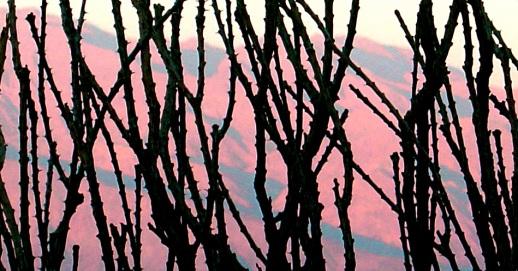 prickly-pink-2.jpg